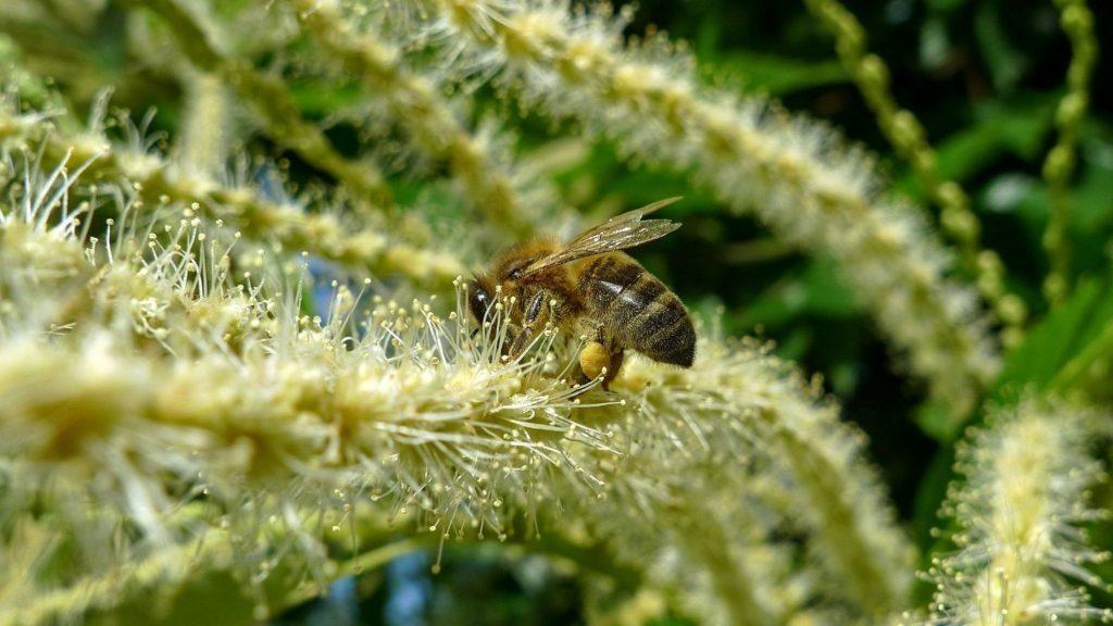 abeille fleur de chataigner